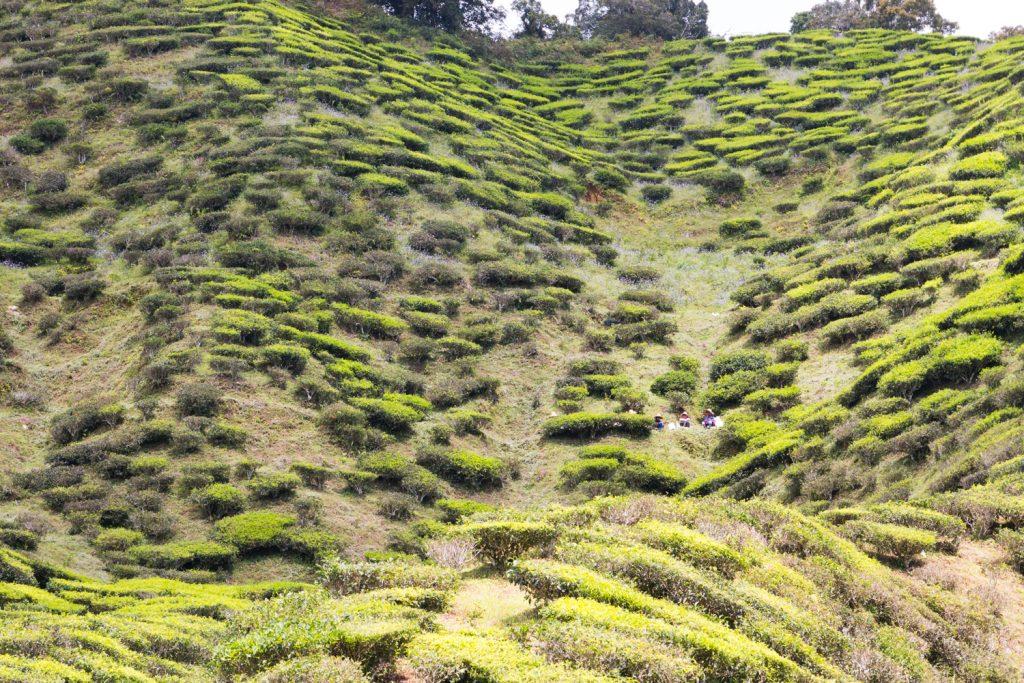 Tee-Bauern bei der Erntepause